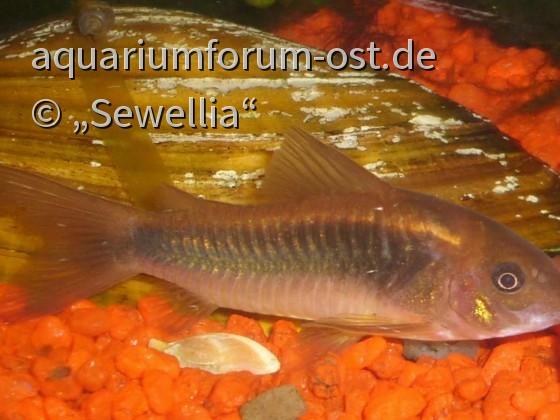 Metallpanzerwels - Corydoras aeneus