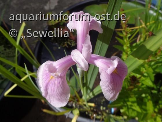 Blüte einer Asiatischen Sumpf-Schwertlilie (Iris laevigata)