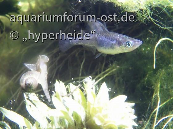 Medaka (Black Lamé) und Schlammschnecke, Unterwasseraufnahme