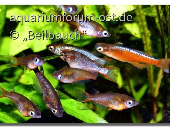 Neon- Reisfische (Oryzias woworae) und ein Pseudomugil luminatus
