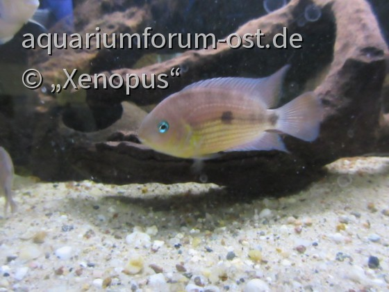 Cryptoheros myrnae / Topaz-Buntbarsch - Männchen