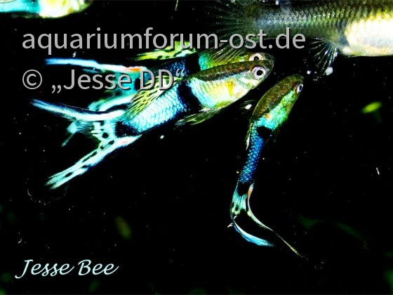Jesse's Double Blue Guppy (JB x MB)
