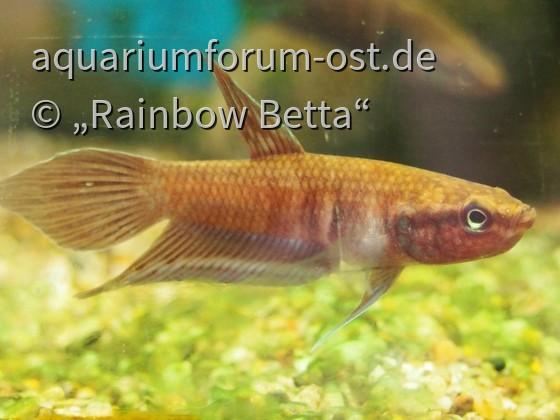 Betta dimitiata (sehr junges Männchen)