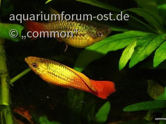 Xiphophorus variatus - Papageienplaty