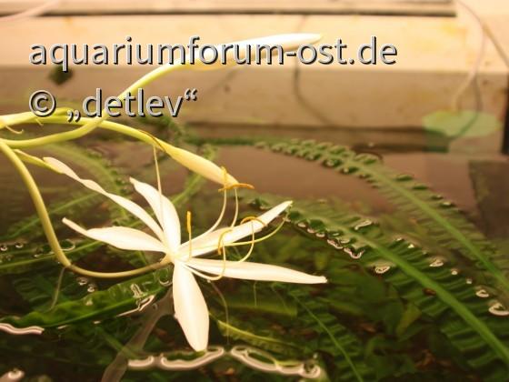 Crinum natans , Einzelblütendurchmesser 12 cm