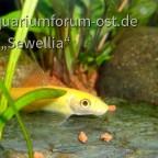 Juvenile Siamesische Saugschmerle 'Gold' (Gyrinocheilus aymonieri)