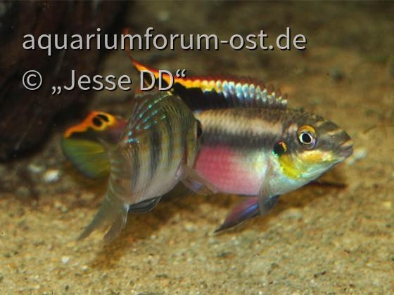 Revierkampf Pelvicachromis vs. Anomalochromis 3