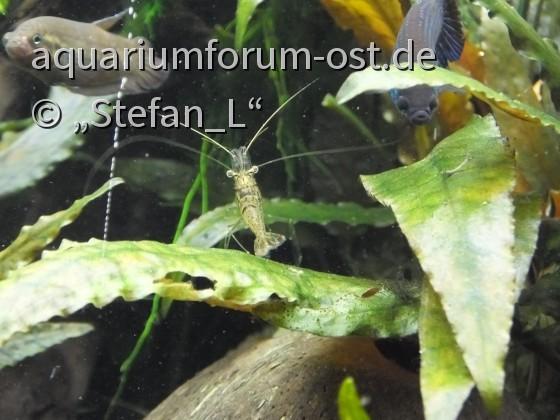 Macrobrachium peguense & B. dennisyongi & B. smaragdina