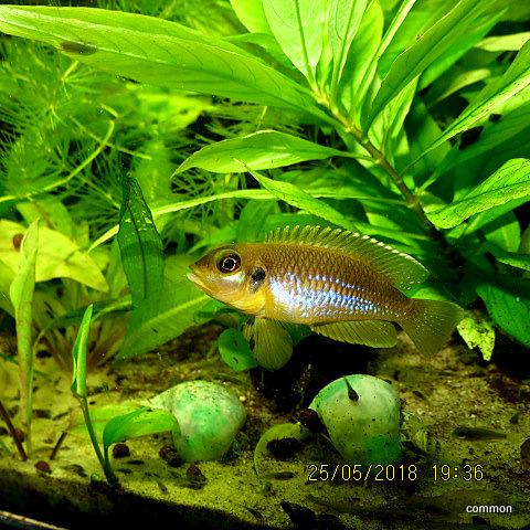 Neolamprologus ocellatus , Augenfleckschneckenbuntbarsch....Männchen!