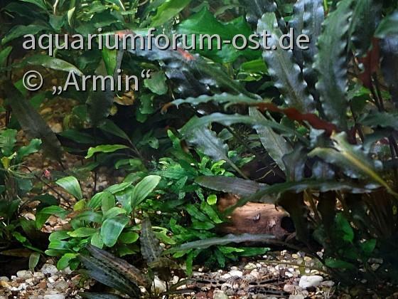 Junge Corydoras habrosus machen Mittagspause