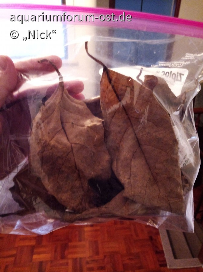 Ficus septica für Deutschland