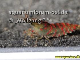 "Caridina cf. cantonensis ""Red Tiger"""