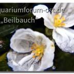 Die zarten Blüten der Wasserpest in 10facher Vergrößerung