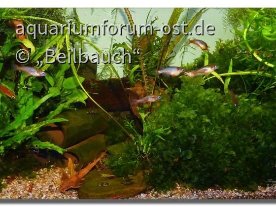 Neonreisfische (Oryzias woworae) laichen im Süßwassertang