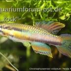"Chromaphyosemion volcanum ""Penda Mboko/Camp2"""