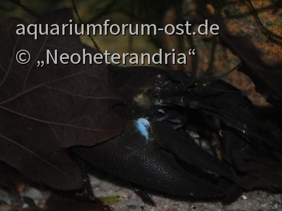 Signalkrebs (Pacifastacus leniusculus)