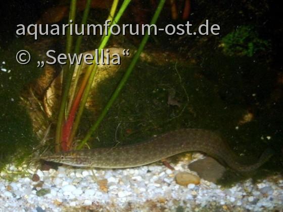 Indischer Zwergstachelaal (Macrognathus pancalus)