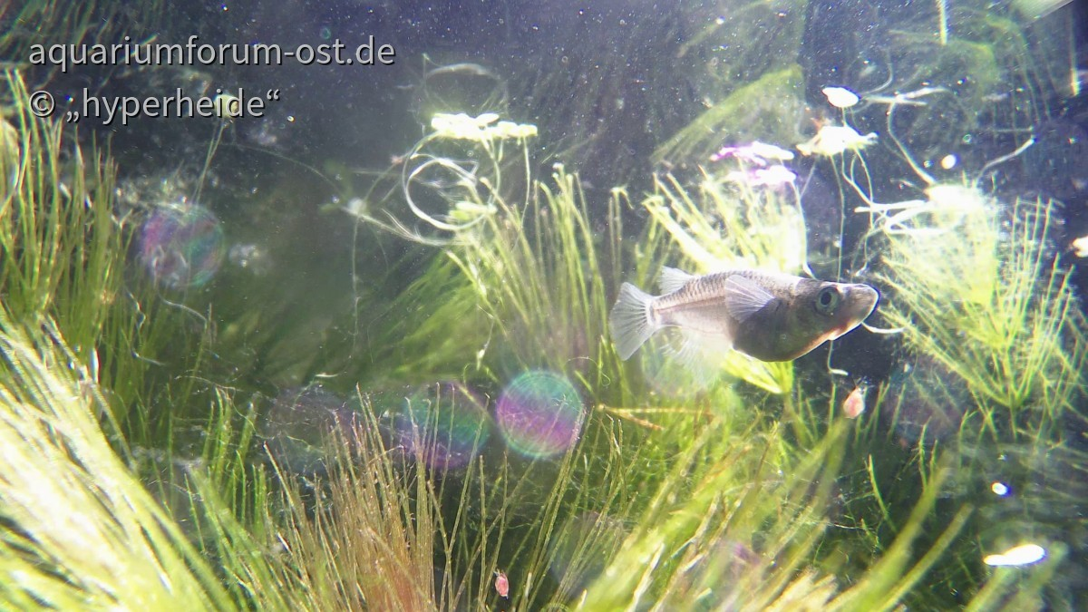 Medaka, Black Lame, Unterwasseraufnahme