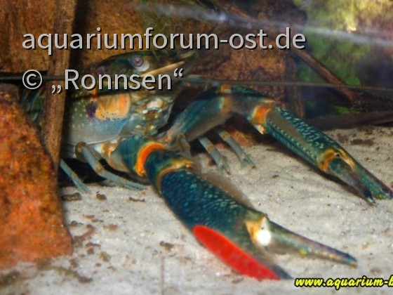 Cherax quadricarinatus