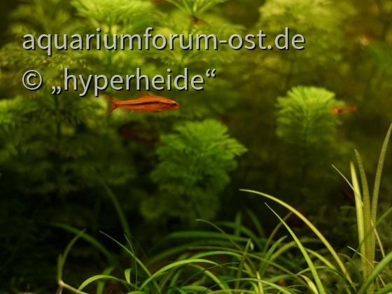 Schmerli-Mann (Yunnanilus sp. rosy)