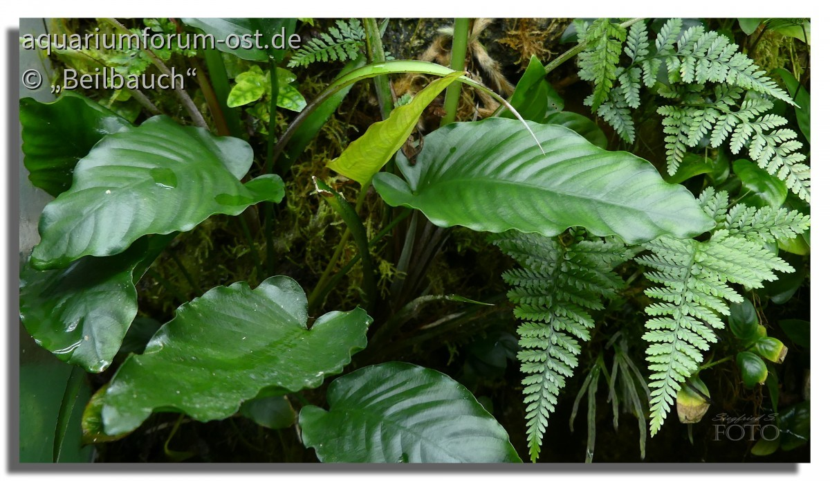 Anubias barteri var. caladiifolia, emers