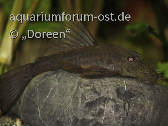 Ancistrus sp. (unbestimmter Wildfang)