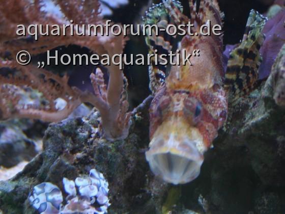4 im gr. Becken lebende Zwergfeuerfische
