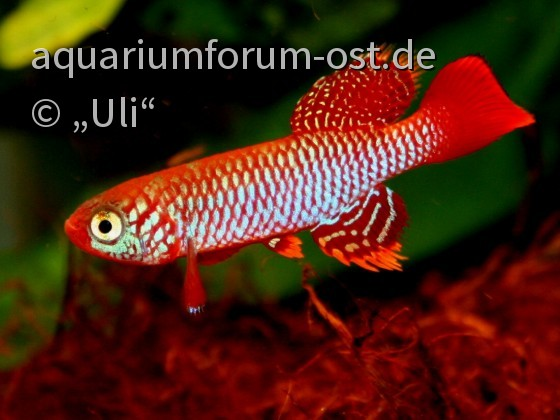 Nothobranchius flammicomantis TAN 95/5 Kisaki