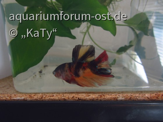 Candy Betta (Betta splendens Zuchtform)