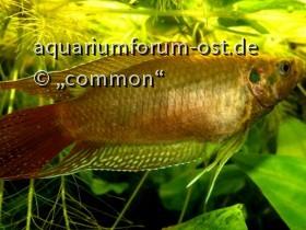Rundschwanzmakropode, Macropodus ocellatus, Female