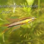 jungfische