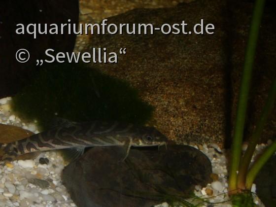 Zodiac-Schmerle (Mesonoemacheilus triangularis)