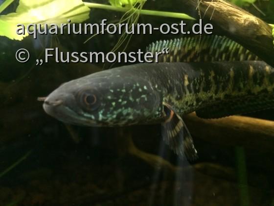 channa aurantimaculata, Jungfisch, Anfang 2017