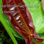 Echinodorus RolfNolting, neues Blatt