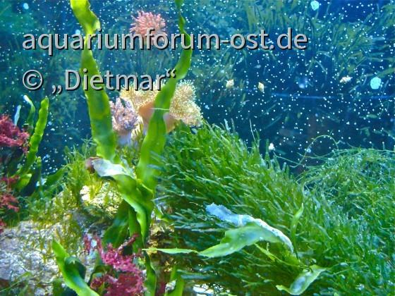 Marine Algen im Aquarium