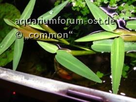 Schwimmgras - Schwimmreis / Hydroryza aristata