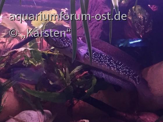 Ch.asiatica_Männchen #2