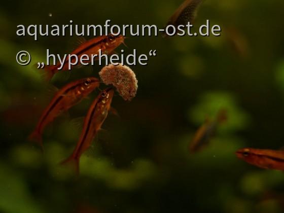 Schmerlen Fütterung (Yunnanilus sp. rosy)