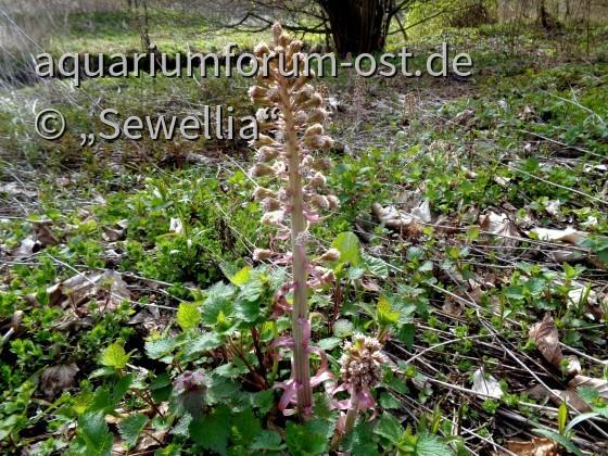 Rote Pestwurz (Petasites hybridus) Habitat