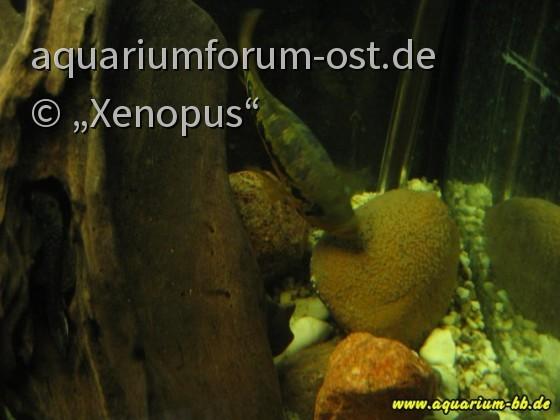 Parachromis loisellei mit Laich