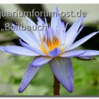 Nymphea daubenyana