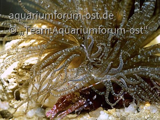 Karibische Anemone und Knallkrebs
