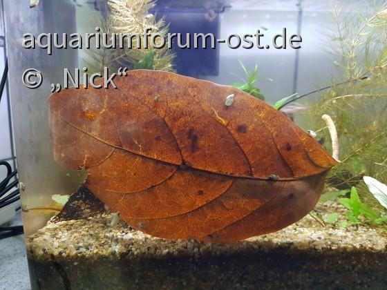 Ficus septica im Aquarium