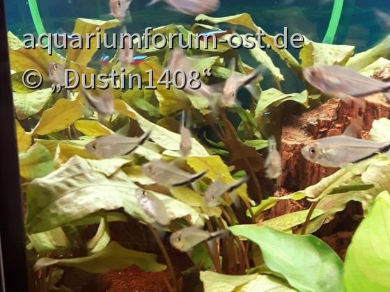 Moenkhausia costae