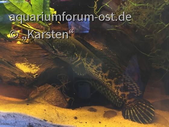 Channa aurantimaculata - junges Weibchen