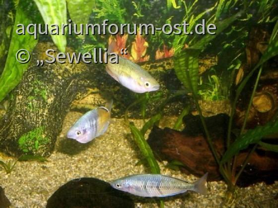 Melanotaenia boesemani - Boesemans Regenbogenfische