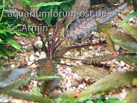 Cryptocoryne nurii var. raubensis