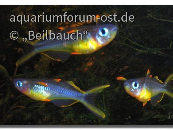 Gabelschwanz-Blauaugen (Pseudomugil furcatus), male