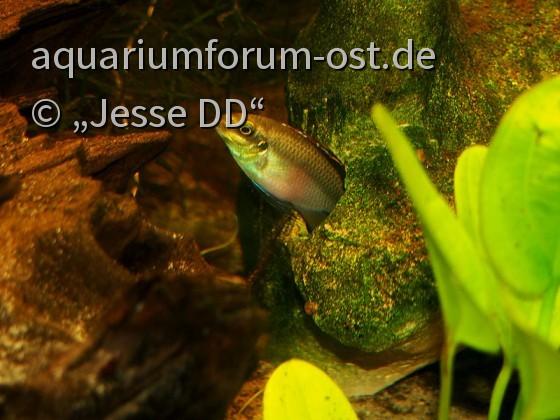 Pelvicachromis pulcher - Männchen bewacht das Gelege