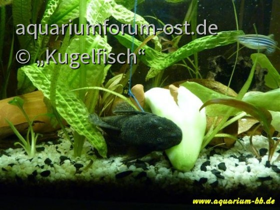 Ancistrus - neue Fotos von neuen Welsen 064 (Small).jpg